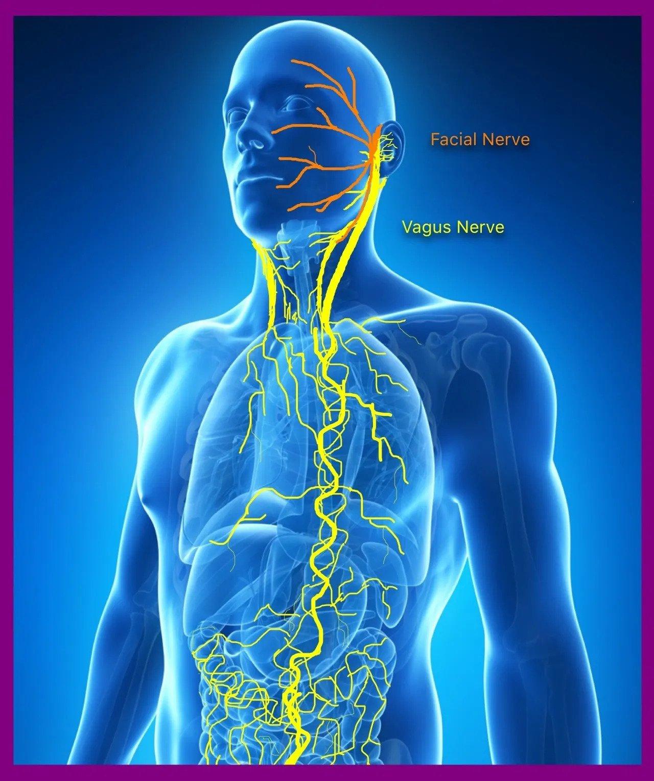 Risultati immagini per nervo vago